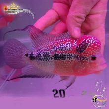 ماهی فلاور هورن درجه یک کد ۲۰