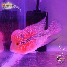 ماهی فلاور هورن zz درجه یک کد ۷
