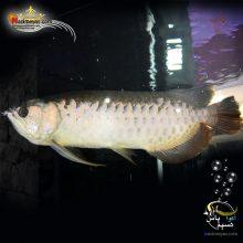 ماهی آروانا های بک شناسنامه دار سایز بزرگ