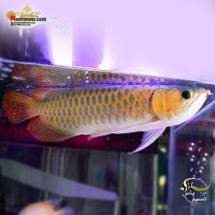 ماهی آروانا سوپر رد با چیپ و شناسنامه سایز بزرگ