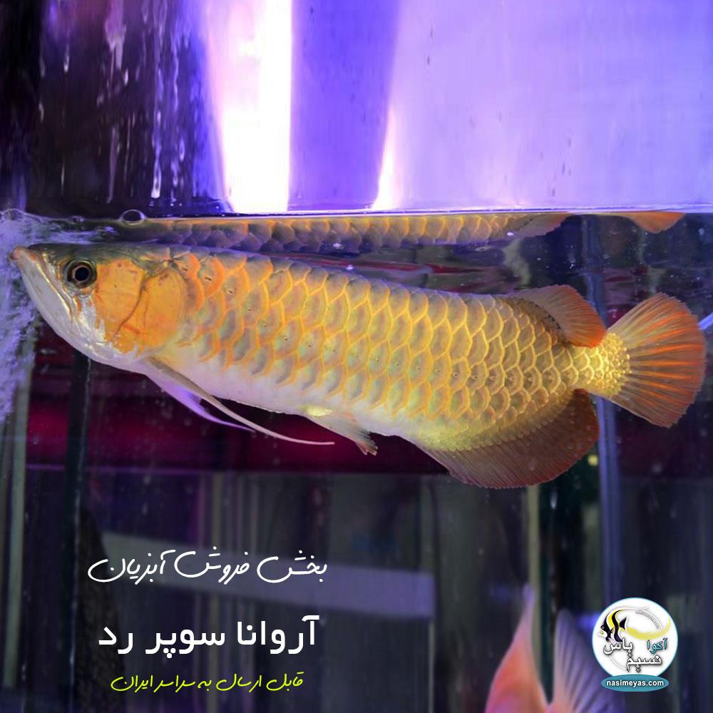 خرید ماهی آروانا سوپر رد با چیپ و شناسنامه سایز بزرگ