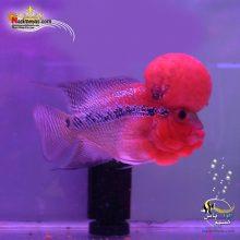 ماهی فلاور هورن zz درجه یک کد ۹