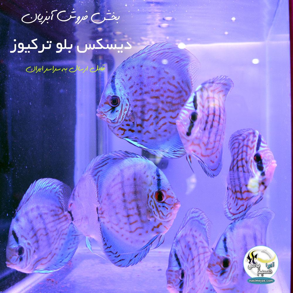 فروش ماهی دیسکس بلو ترکیوز