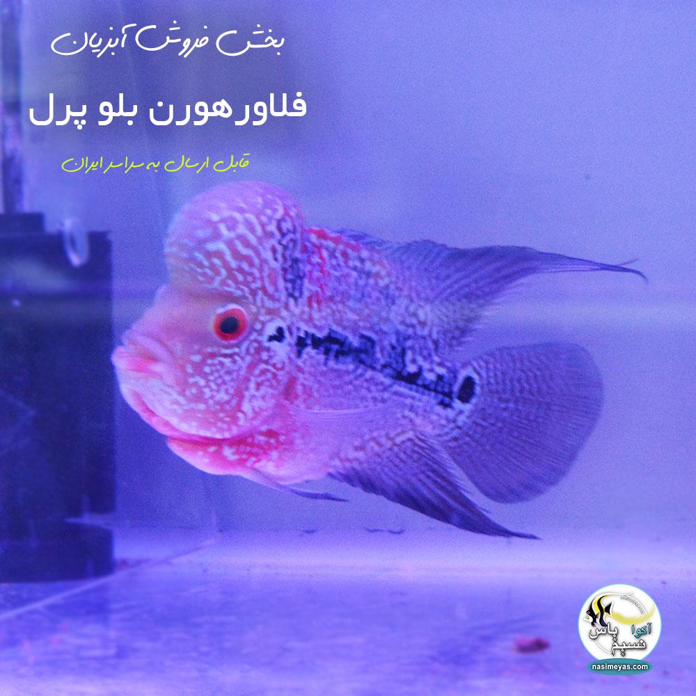 فروش ماهی فلاور هورن بلو پرل درجه یک کد ۵