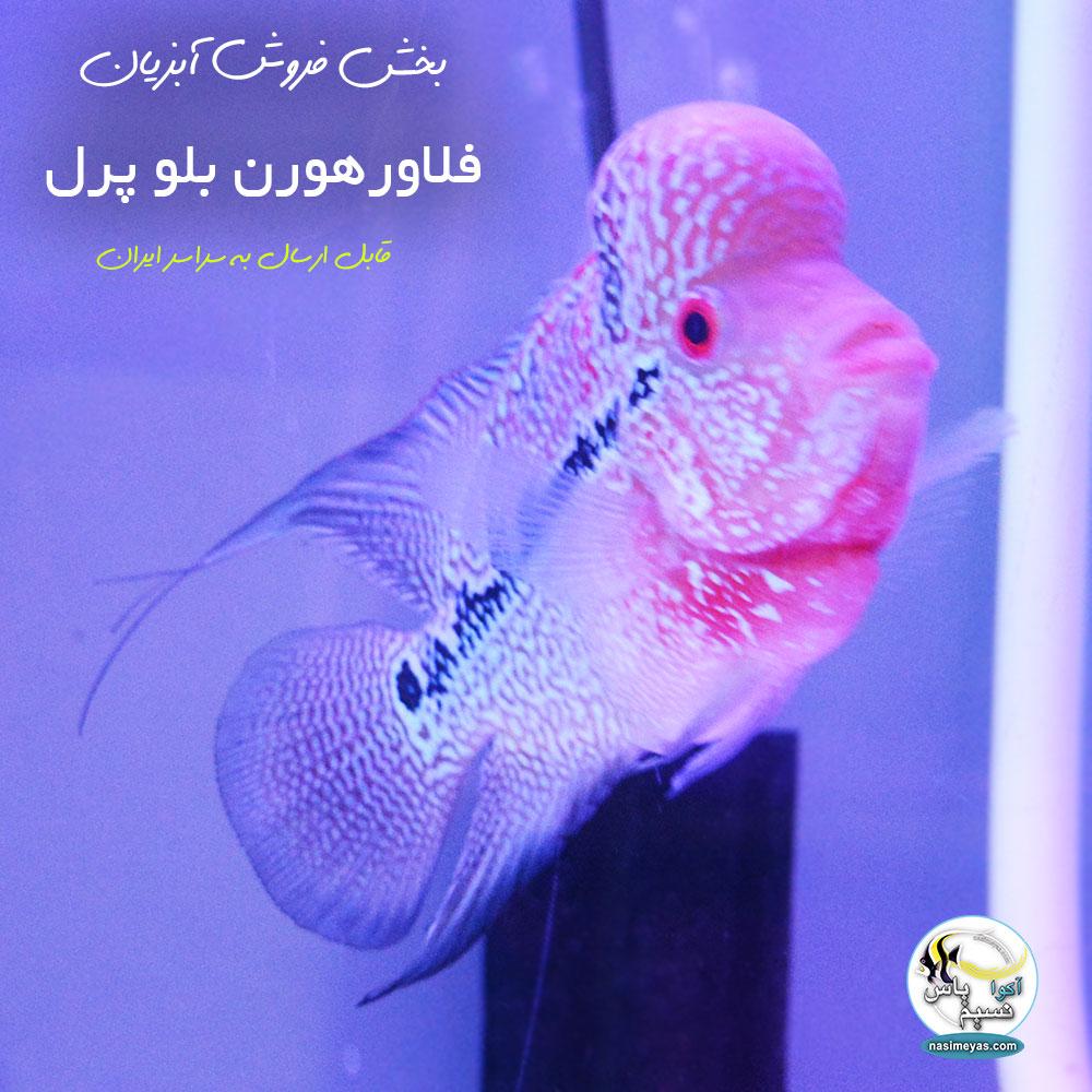 خرید ماهی فلاور هورن بلو پرل درجه یک کد ۵