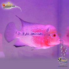 ماهی فلاور هورن zz درجه یک کد ۸