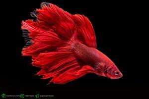 با ماهی فایتر خود بازی کنید ، آموزش ماهی فایتر