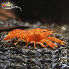 Shrimp orang Cambarellus