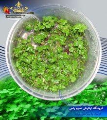 گیاه هیدروکتایل تریپارتیتا پلنت
