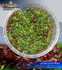 گیاه لودویجیا پالوستریس پلنت کد ۶۰۵