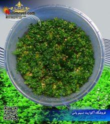 گیاه میکرانتموم پلنت کد ۶۰۶