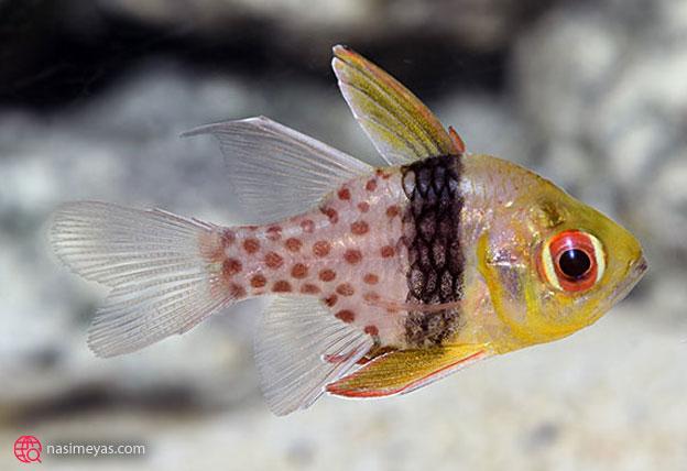 ماهی های مناسب تانک های نانو آب شور
