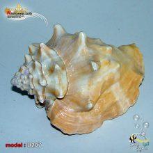 پوسته صدفی حلزون کد B207