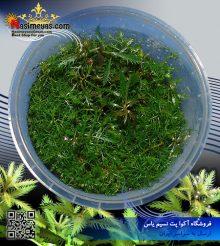 گیاه پالوستریس کوبا پلنت کد ۶۰۱