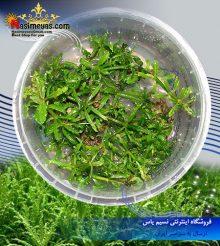 گیاه پوگوستمون هلفری پلنت کد ۶۰۹