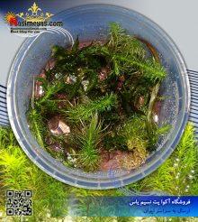گیاه روتولا والیچی پلنت کد ۶۰۲