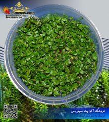 گیاه روتولا روتوندیفولیا سبز پلنت کد 614