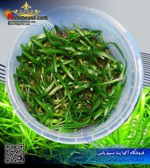گیاه ساگیتاریا پلنت کد 619