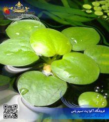 گیاه شناور زیبا و مفید آب شیرین