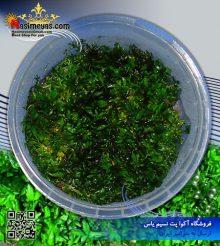 گیاه استراتوس پلنت کد ۶۰۳